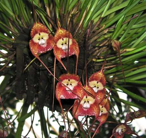 Dracula Simia Monkey Orchids